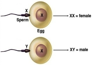 ILMIAH - Penjelasan ilmiah cara mendapatkan bayi laki-laki atau perempuan